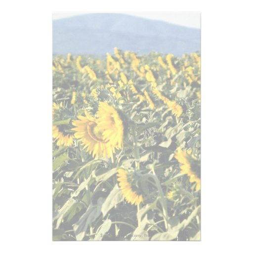 Sunflowers, Tuscany, Italy Stationery