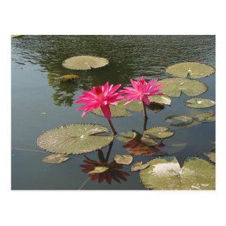 Sunken Gardens Pink Water lilies #8  08 Postcards