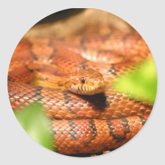 sunkissed corn snake.png classic round sticker