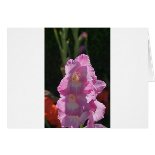 Sunlight on pink gladiolus card