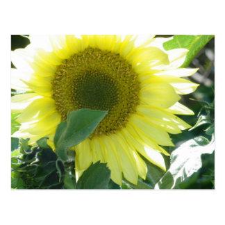 Sunlight Sunflower Postcard