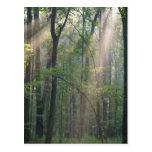 Sunlight Through Forrest Postcard