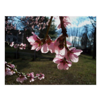 Sunlight Through the Cherry Blossoms Poster