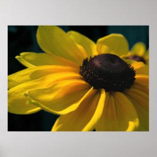 Sunlit Black Eyed Susan Blossom Photo Poster