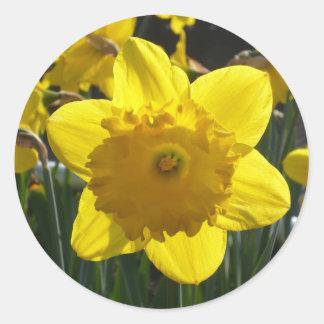Sunlit Daffodil Classic Round Sticker