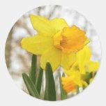 Sunlit Daffodils Classic Round Sticker