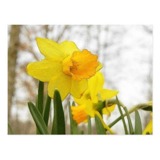 Sunlit Daffodils Postcard