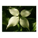 Sunlit Dogwood Blossom White Spring Flower Postcard