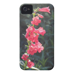 Sunlit Pink Penstemon Flower iPhone 4 Cover