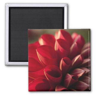 Sunlit Red Dahlia Square Magnet