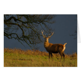 Sunlit Stag Greetings Card