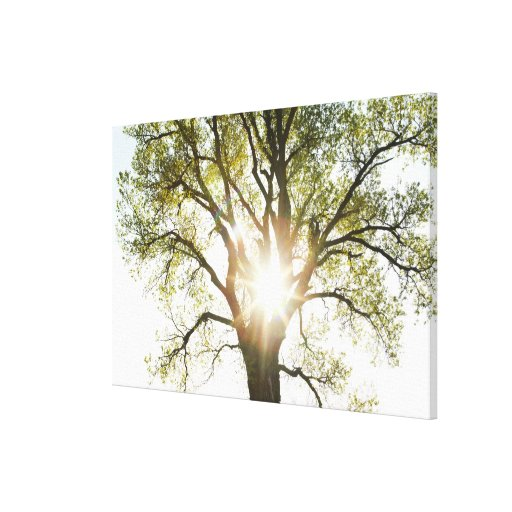Sunlit Tree Stretched Canvas Prints