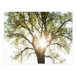 Sunlit Tree Postcard