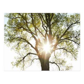 Sunlit Tree Postcard