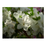 Sunlit White Azaleas Beautiful Spring Flowers Postcard