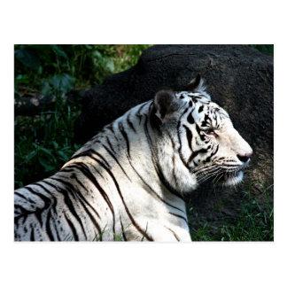 Sunlit white tiger postcard
