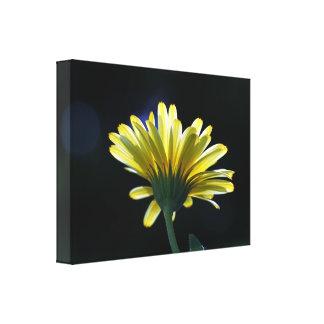 Sunlit Yellow Daisy Canvas Print