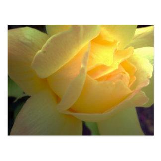 Sunlit yellow rose postcard