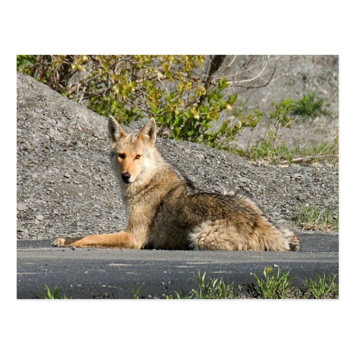Sunning Coyote Postcard
