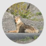 Sunning Coyote Round Stickers