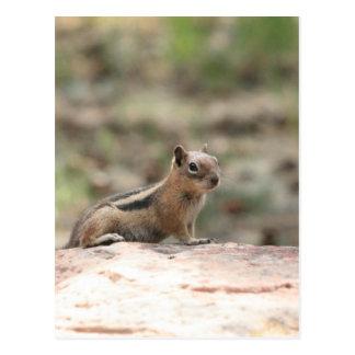 Sunning Ground Squirrel Postcard