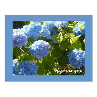 Sunny Blue Hydrangea Postcard