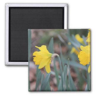Sunny Daffodil flowers Magnet