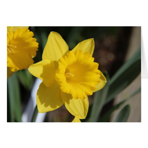 Sunny Daffodil Greeting Card