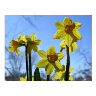 Sunny Daffodils And Blue Skies Postcard