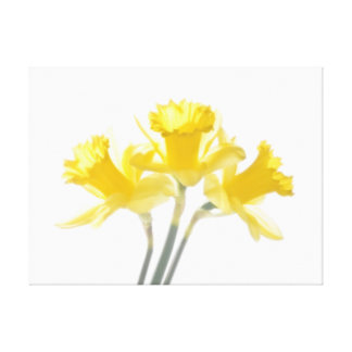 Sunny Daffodils On White Canvas Print