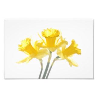 Sunny Daffodils On White Photo