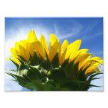 Sunny Day Sunflower Photo