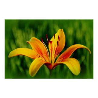 Sunny Lily Flower Poster