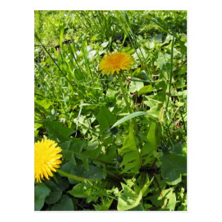 Sunny meadow with yellow dandelions postcard