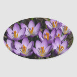 Sunny Purple Crocuses Early Spring Flowers Oval Sticker