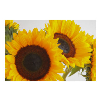 Sunny Sunflowers Poster