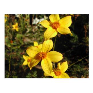 Sunny Yellow Flowers. Bidens. Postcard