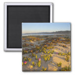 Sunrise lights the sand dunes and sea fig at 2 inch square magnet