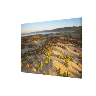 Sunrise lights the sand dunes and sea fig at canvas print