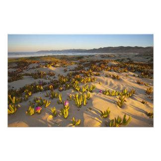Sunrise lights the sand dunes and sea fig at photo art