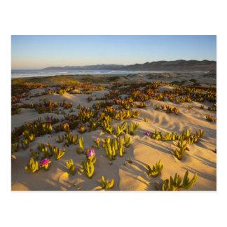 Sunrise lights the sand dunes and sea fig at postcard