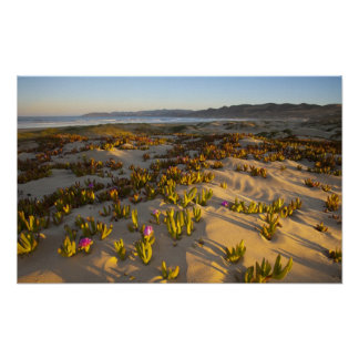 Sunrise lights the sand dunes and sea fig at poster