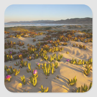 Sunrise lights the sand dunes and sea fig at square sticker
