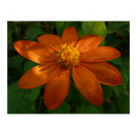 Sunrise on Mexican Sunflower Orange Floral Postcard