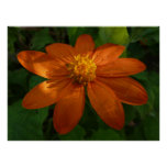 Sunrise on Mexican Sunflower Orange Floral Poster
