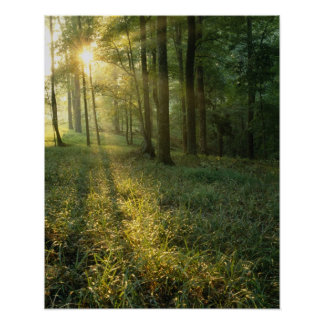 Sunrise through oak and hickory forest, Mammoth Poster