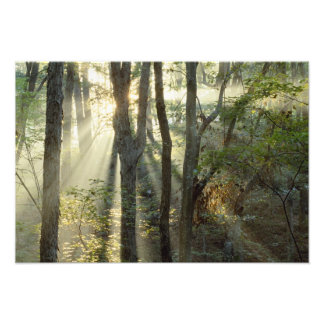 Sunrise through oak and hickory forest, photo print