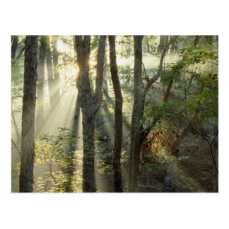 Sunrise through oak and hickory forest, postcard