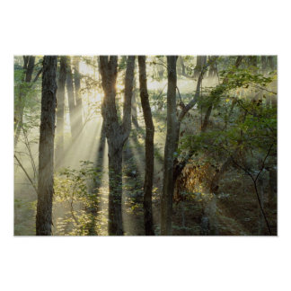 Sunrise through oak and hickory forest, poster