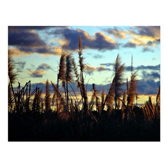 Sunset afterglow through reeds postcard